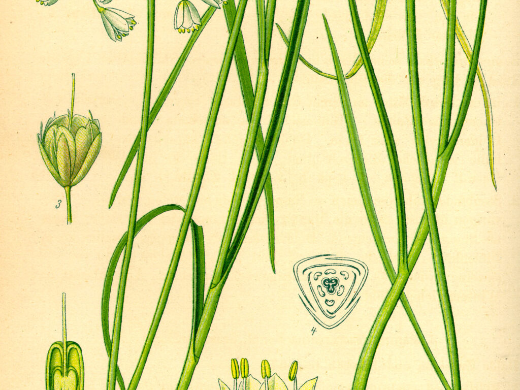 Gemüse-Lauch (Allium oleraceum) und rechts Gelber Lauch (Allium flavum); Illustration (Wikimedia Commons)